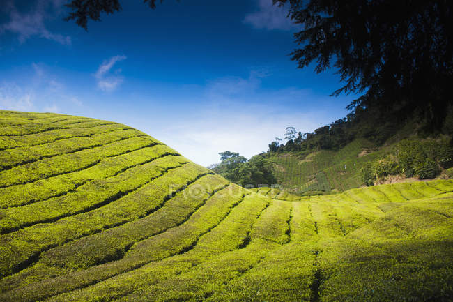 Landscape of tea plantation placed at curvy sunlit hills — Stock Photo