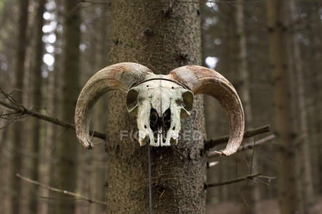 Crâne de bélier sur le tronc d'arbre à la forêt . — Photo de stock