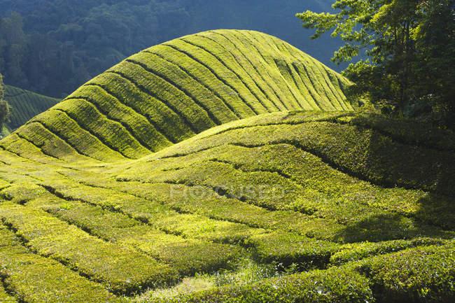Scenic view of tea plantation on green sunlit hills — Stock Photo