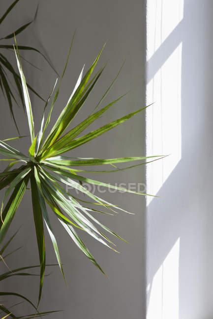 Luz através da janela em cima da palmeira fã — Fotografia de Stock