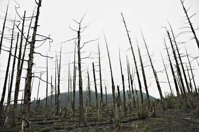 Fileiras de árvores nuas na floresta morta perto do vulcão Tolbachik, Rússia — Fotografia de Stock