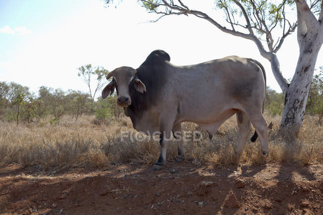 Side view of Brahman female cow standing under tree — Stock Photo
