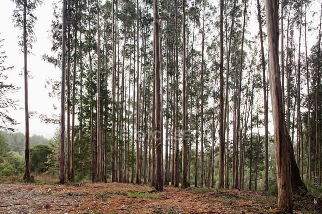 Reihe hoher Bäume im herbstlichen Wald — Stockfoto