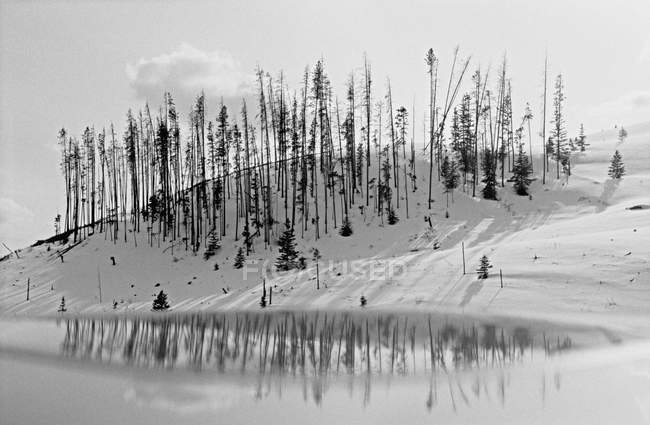 A line of bare pine trees on a mountainside — Stock Photo