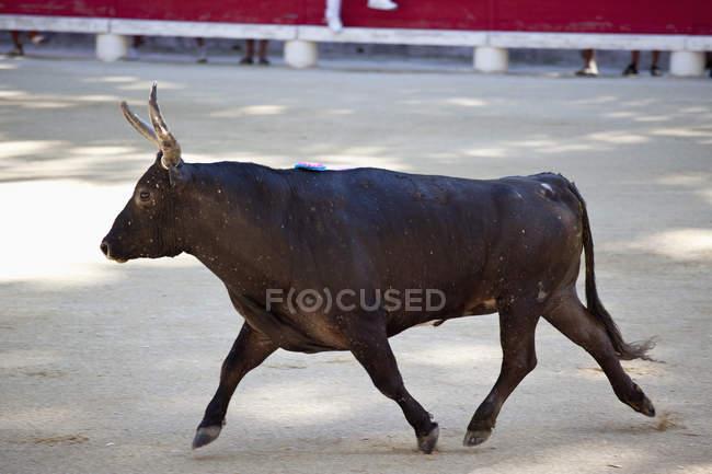 Vista lateral de Toro negro en arena - foto de stock