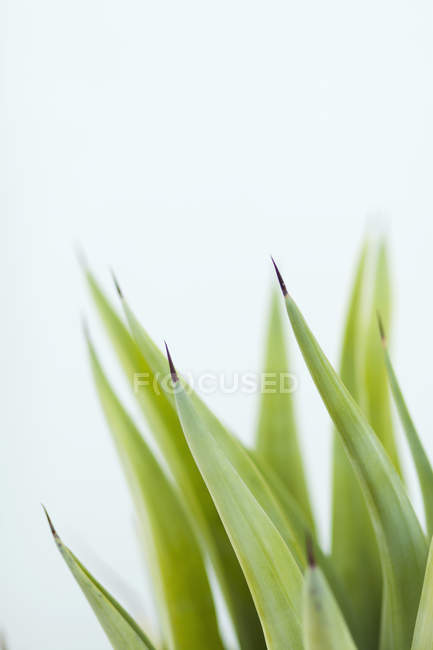 Browning leaves of potted plant on white background — Stock Photo