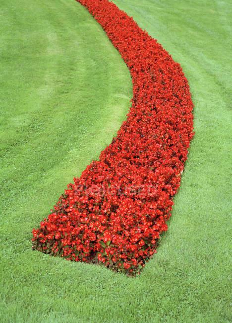 Красные маки клумба в саду — стоковое фото