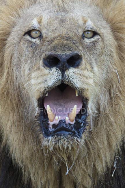 Leão macho olhando para a câmera com a boca aberta — Fotografia de Stock