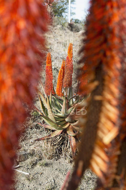 Obscured view to bitter Aloe at desert scene — Stock Photo