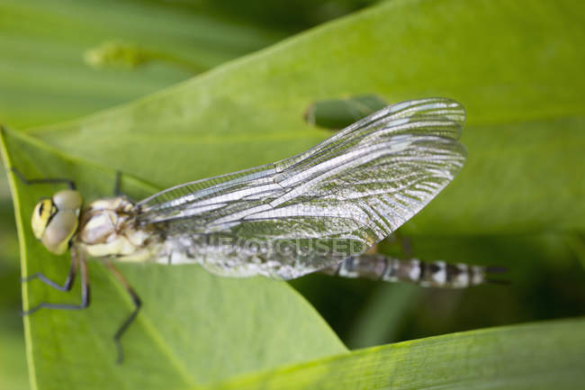 Close up view of dragonfly on green leaf — Stock Photo
