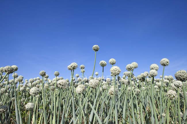 Low angle view of garlic growing on farmland — Stock Photo