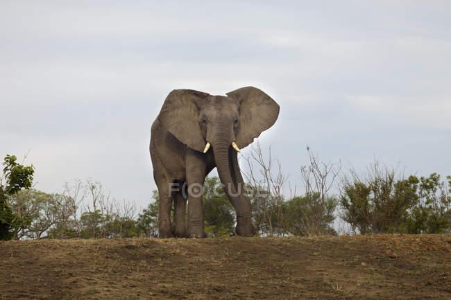 Éléphant d'Afrique à marcher à safari vers caméra — Photo de stock