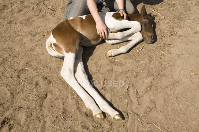 Crop woman caressing foal lying on side — Stock Photo