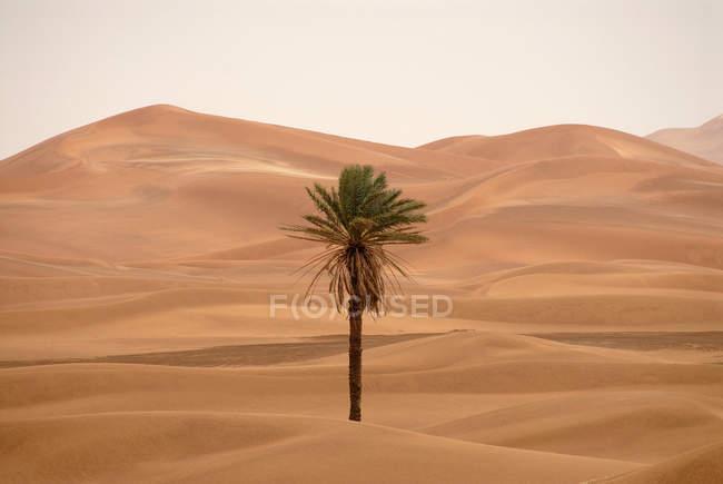 Palma in mezzo al deserto paesaggio di dune di sabbia — Foto stock