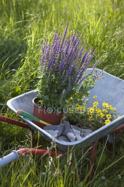 Low angle view of wheelbarrow with flower pots at lawn in garden — Stock Photo