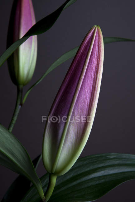 Close up view of buds of two Easter Lilies waiting to bloom — Stock Photo