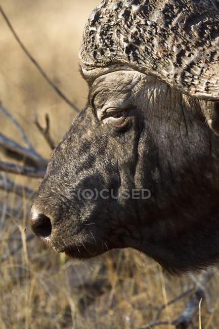 Close up headshot of African Buffalo at nature — Stock Photo