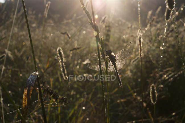 Libélula na haste da grama na luz do verão — Fotografia de Stock