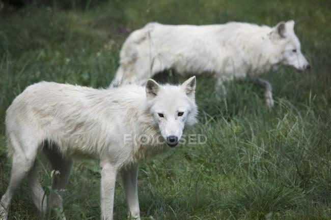 Вид сбоку два белых волков в траве — стоковое фото