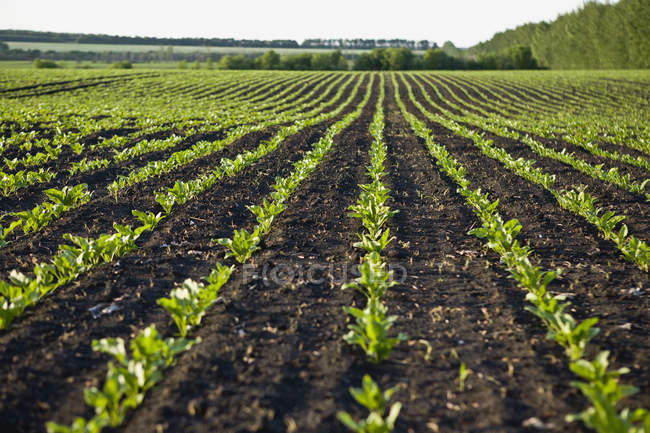 Surface level view of rows of new crops growing in field — Stock Photo