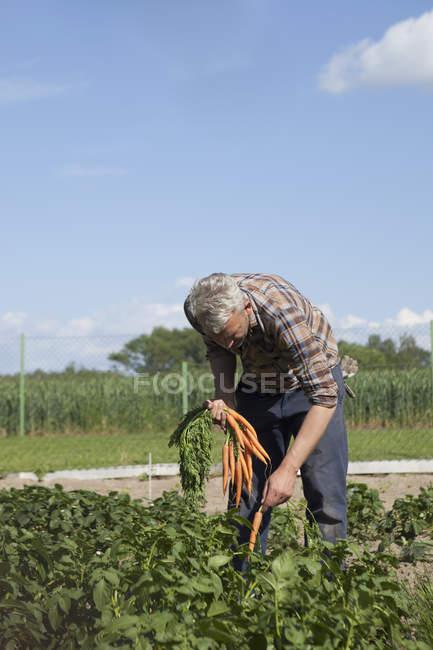 Hombre maduro recogiendo zanahorias en el huerto - foto de stock