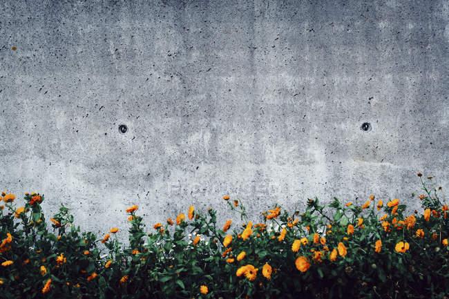 Flores creciendo contra muro de hormigón - foto de stock