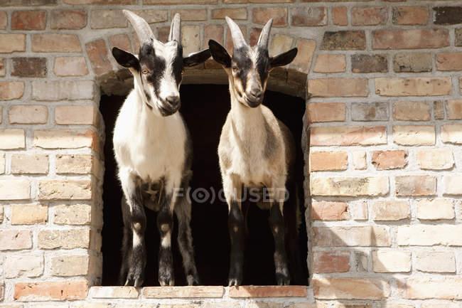 Chèvres debout dans la fenêtre du bâtiment en brique — Photo de stock