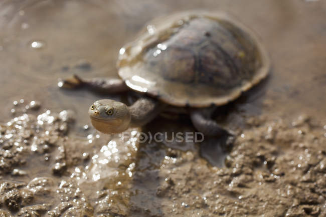Long necked turtle walking in mud — Stock Photo