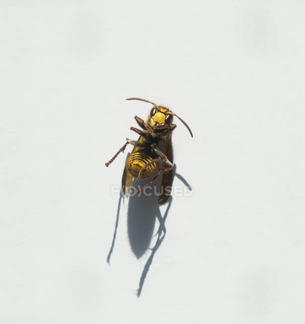 Abeille à miel morts sur tableau blanc — Photo de stock