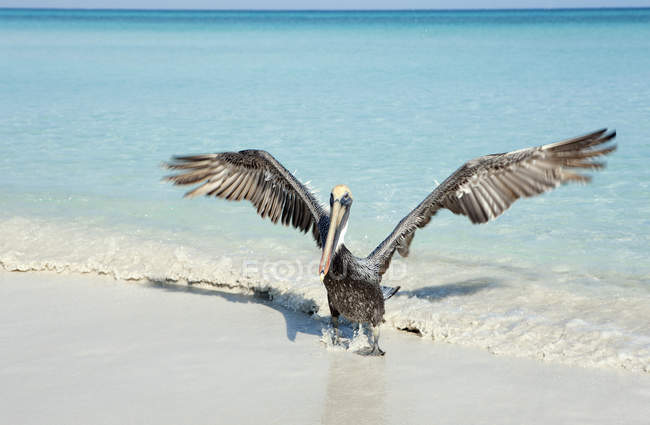 Pélican en agitant les ailes au bord de mer de sable — Photo de stock