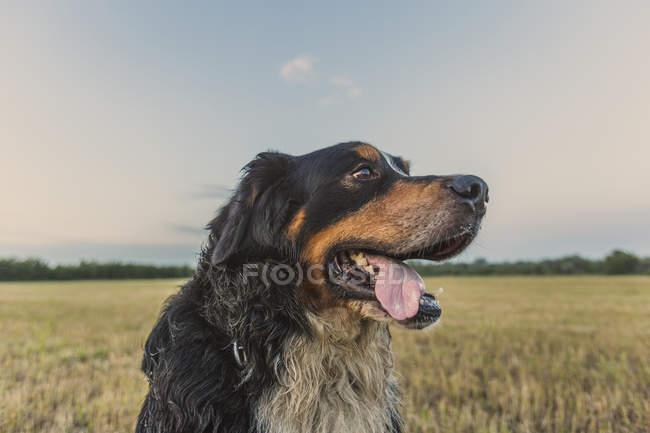 Закрыть вид на Бордер-Колли на поле — стоковое фото