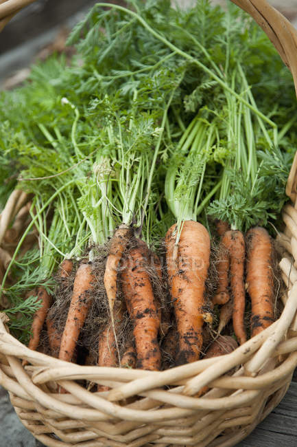 Bunch of freshly picked carrots in wicker basket — Stock Photo