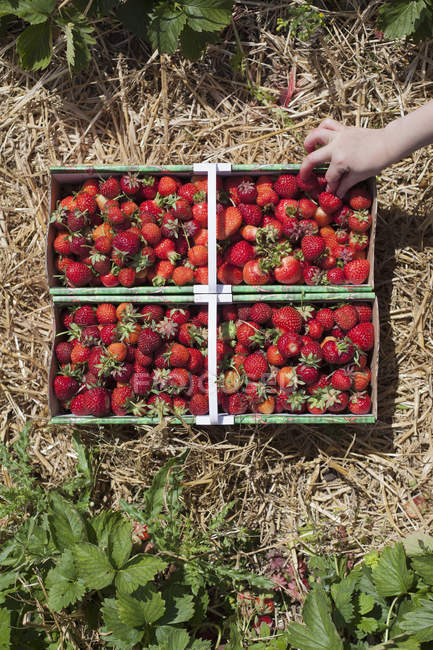 Crop hand picking strawberries from crate in field — Stock Photo