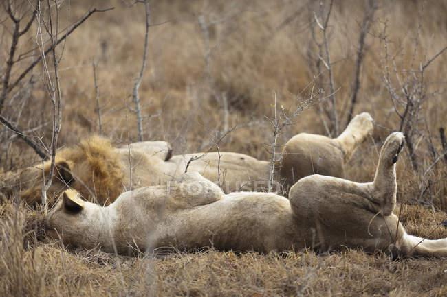 Leoni maschii e femminili che si trovano fianco a fianco al safari — Foto stock