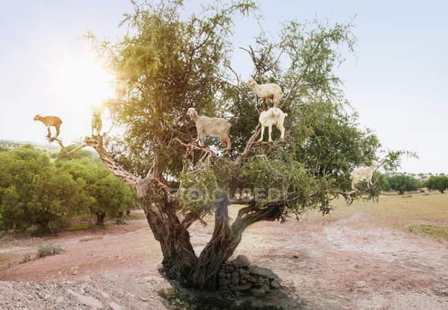 Gregge di capre sui rami degli alberi contro la luce solare intensa — Foto stock