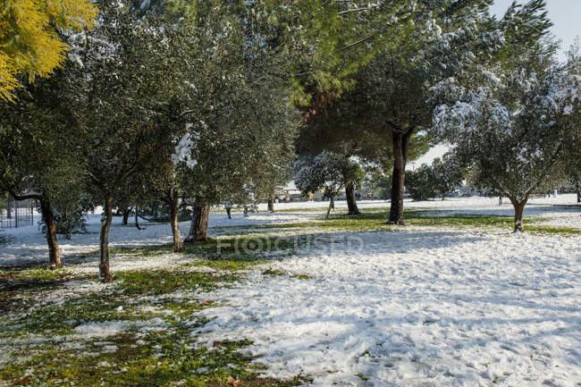 Green trees on lawn in winter park — Stock Photo
