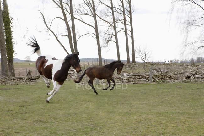 Toute la longueur du cheval sautant sur champ — Photo de stock