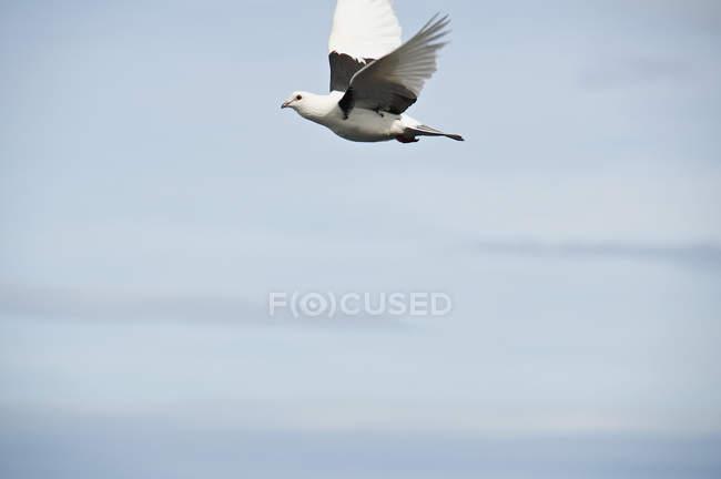 Weißer Vogel fliegt in blauem Himmel — Stockfoto