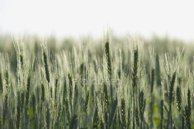 Full frame shot of green wheat field in spring — Stock Photo