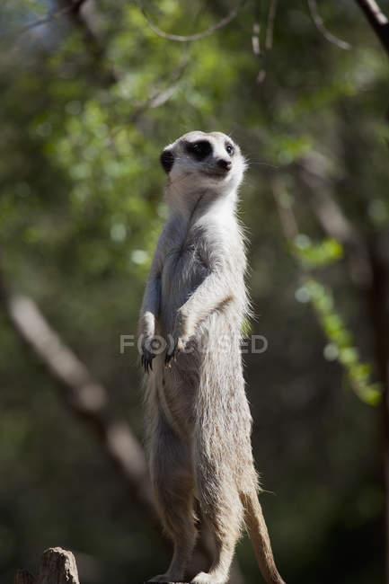 Vista lateral do meerkat desviar o olhar para a natureza — Fotografia de Stock