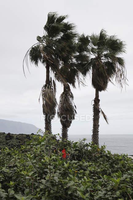 Palmiers au bord de mer journée venteuse — Photo de stock