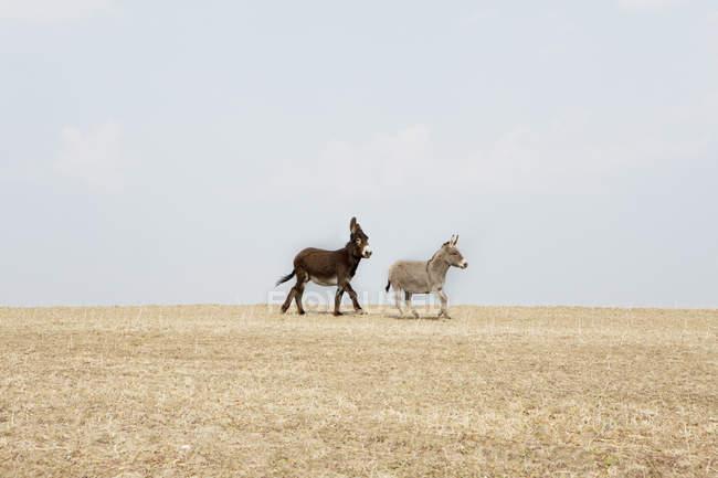 Вид сбоку на двух ослов, идущих по полю — стоковое фото