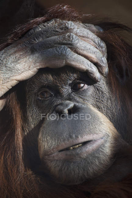 Portrait of monkey with palm on foreground — Stock Photo