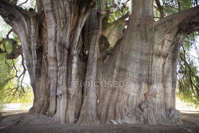 Обрезанное изображение гигантских Монтесумы кипарис — стоковое фото