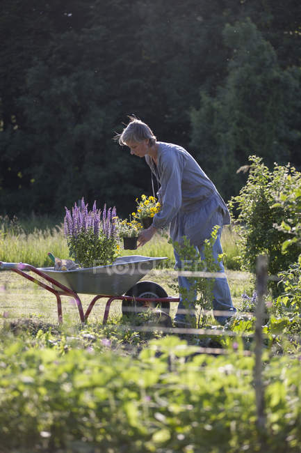 Mature woman loading flower pots in wheelbarrow at garden — Stock Photo