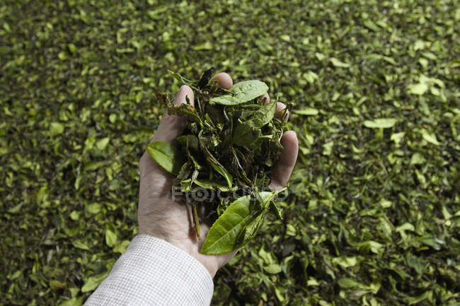 Cropped image of hand holding tea leaves — Stock Photo