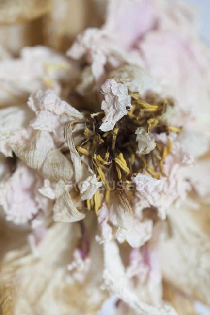 Крупним планом подання сушіння квіти — стокове фото