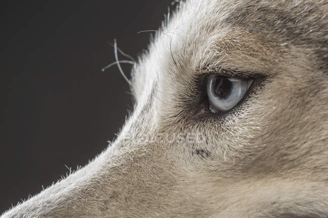 Cropped image of Siberian Husky over gray background — Stock Photo