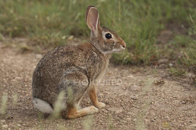 Вид сбоку кролика, сидя на поле Страна — стоковое фото