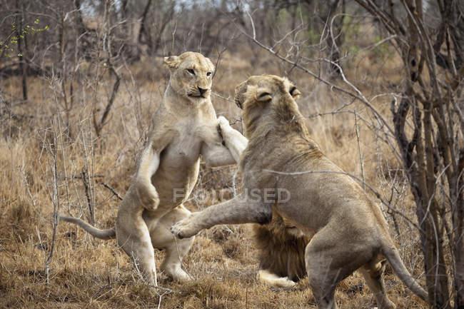 Dois leões femininos jogando na natureza — Fotografia de Stock